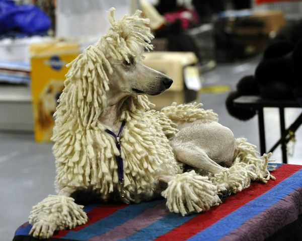 Дог-шоу Westminster Kennel Club Dog Show 2011